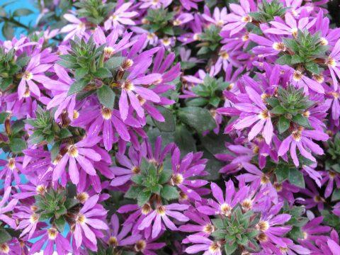 Scaevola-Surdiva-Purple-001