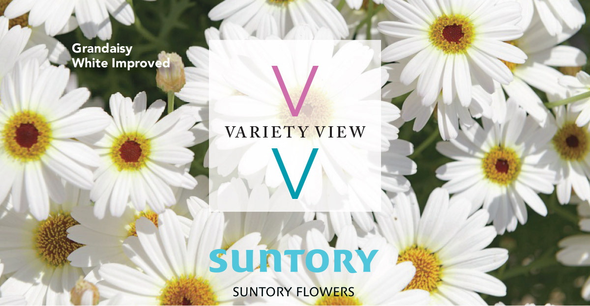 Suntory Flowers Grandaisy White Improved