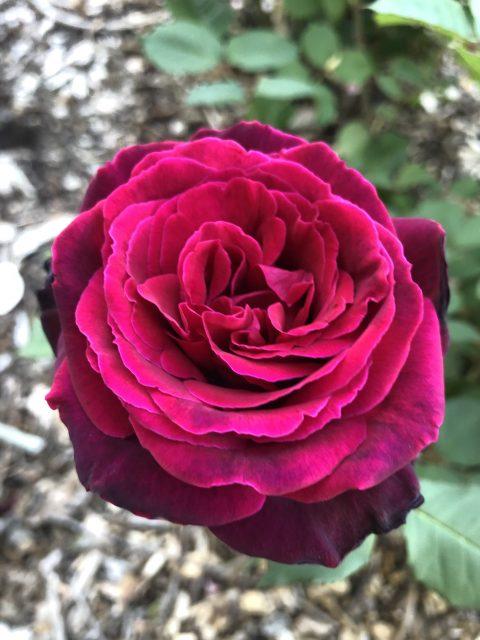 Rose-Brindabella-Crimson-Knight-001