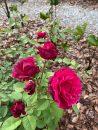 Rose-Brindabella-Crimson-Knight-002