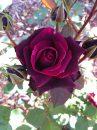 Rose-Brindabella-Crimson-Knight-005