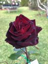 Rose-Brindabella-Crimson-Knight-006