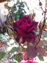 Rose-Brindabella-Crimson-Knight-007