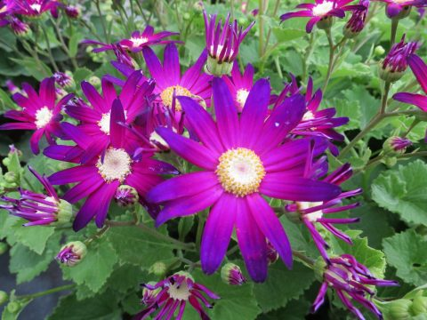 Pericallis-Senetti-Rose-Glow-001