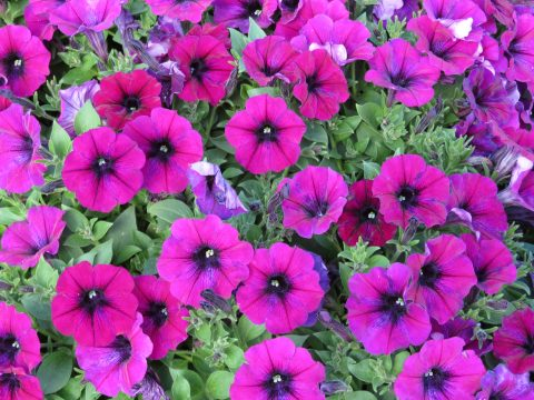 Petunia-Surfinia-Heavenly-Cabernet-002